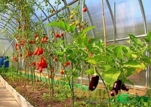 Как выращивать баклажаны в теплице