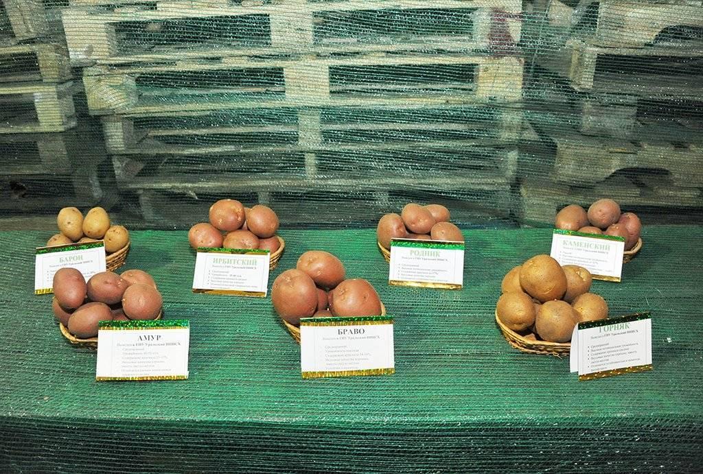 Картофель алёна: характеристика и особенности выращивания сорта