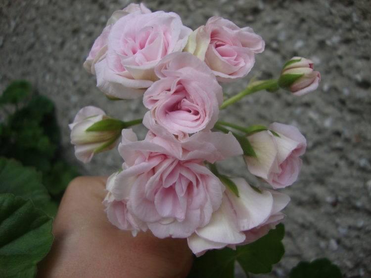 Пеларгония пинк рамблер