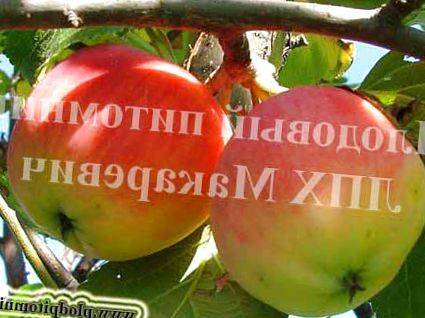 Особенности посадки и ухода за яблоней услада