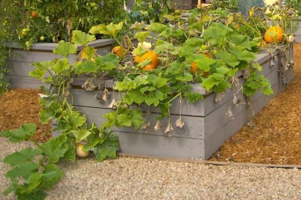Выращивания и уход за тыквой в домашних условиях