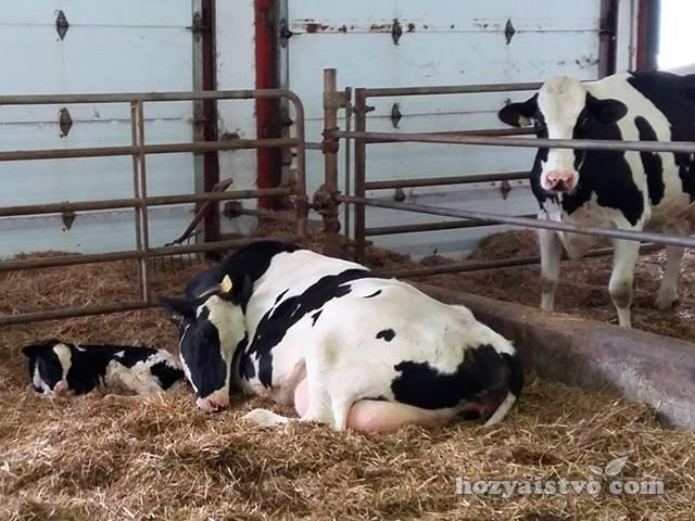 Получение молока коровы в сутки