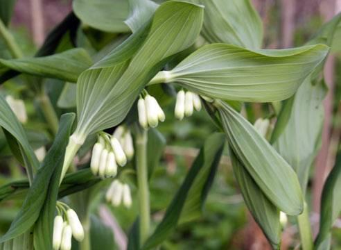 Цветок купена — садовое растение