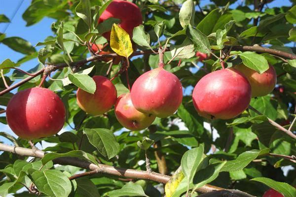 Осенняя яблоня экранное