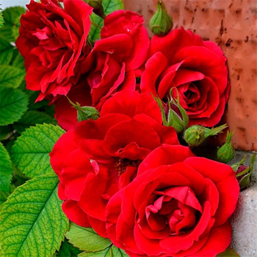 Розы флорибунда – 9 основных правил по выращиванию
