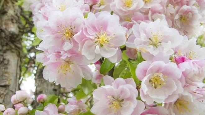 Нужно ли обрывать цветы у яблони в первый год цветения