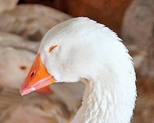 Лечение и профилактика поноса у молодняка гусей