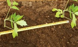 Оптимальное расстояние посадки помидоров в теплице