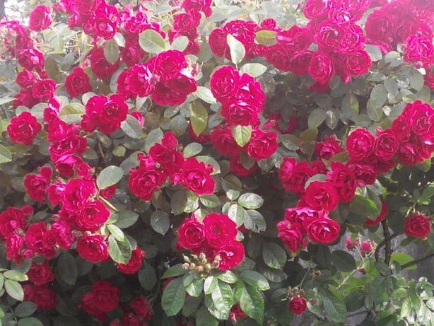 Роза фламентанц фото и описание: посадка и уход, видео, выращивание плетистой розы flammentanz осенью, отзывы