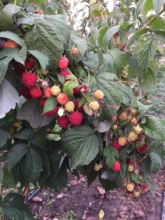 Описание лучших сортов малины