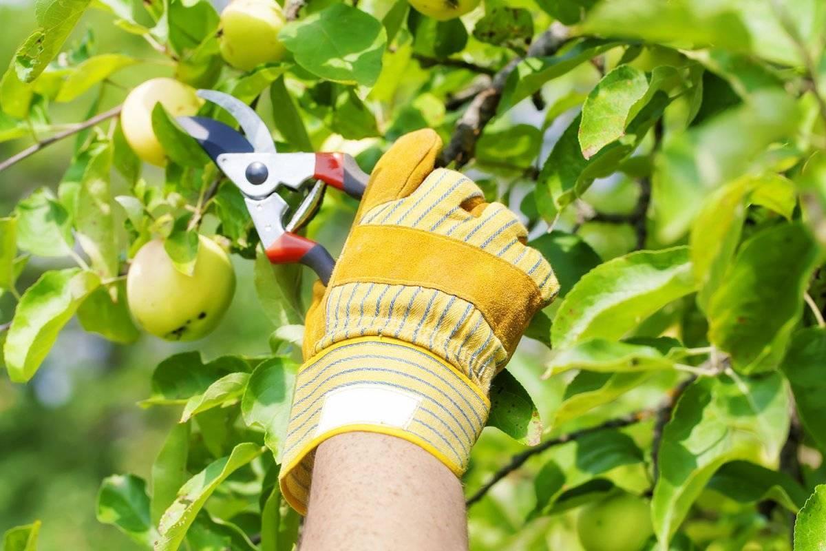 Можно ли обрезать плодовые деревья летом: пинцировка, советы начинающим