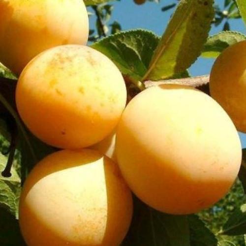 Особенности выращивания и ухода за сливой вижен