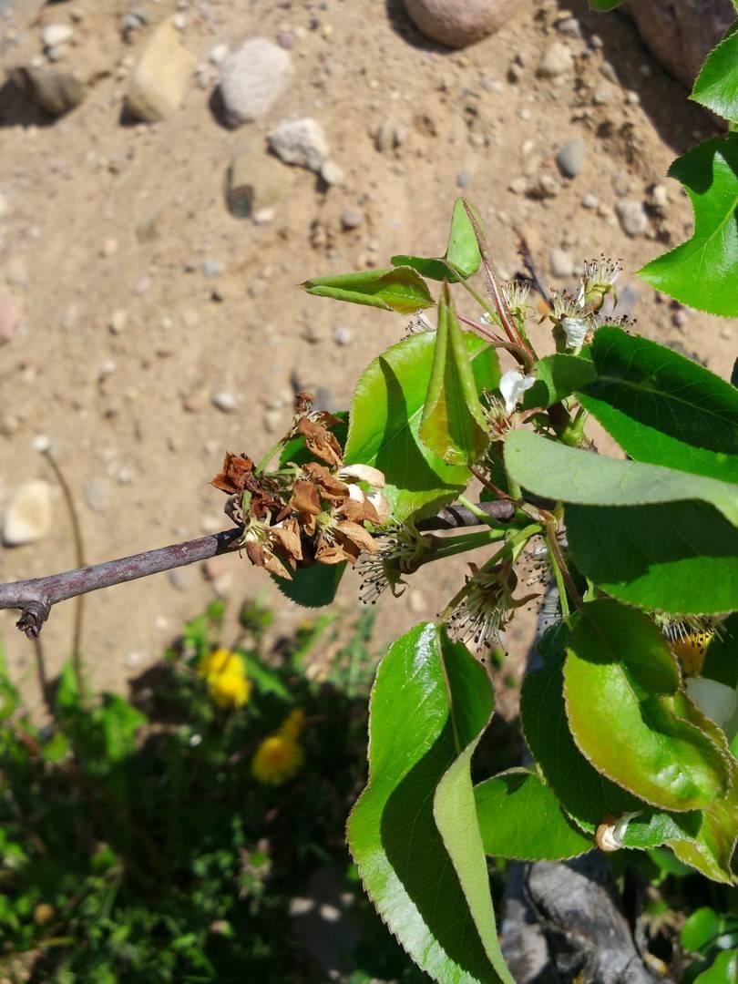 Ржавчина груши: лечение болезни на листьях, советы чем лечить и что делать, обработка дерева осенью и чем опрыскивать, устойчивые сорта, фото