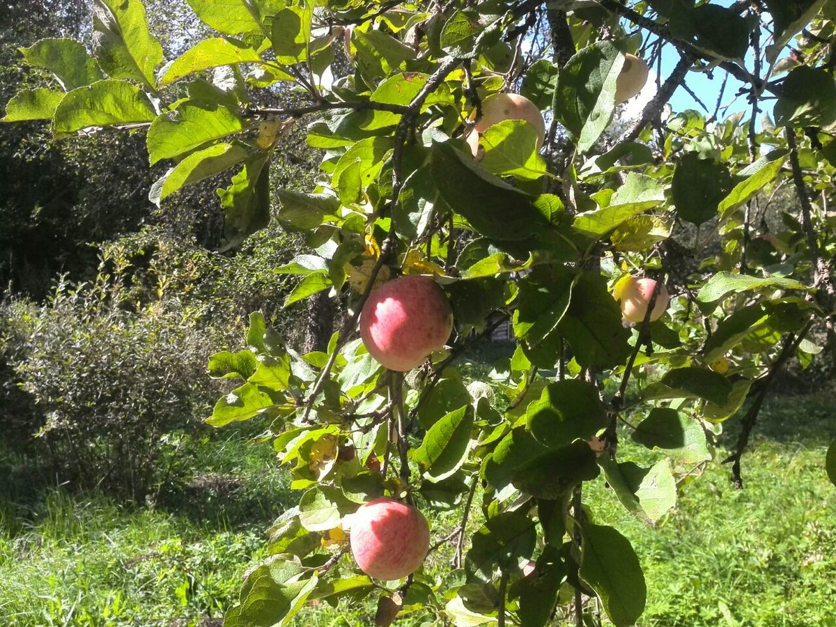 Как пересадить яблоню весной в другое место