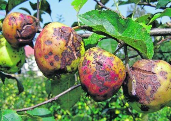 Светлые листья на яблоне
