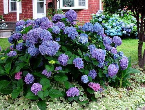 Как изменить цвет гортензии на голубой или розовый   топ огород