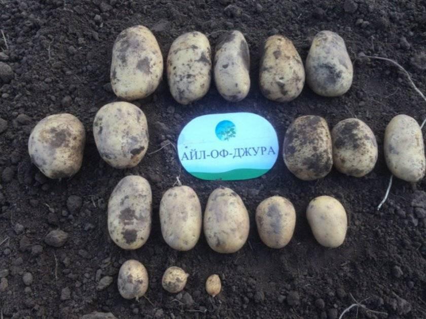 Семенной картофель сорт айл оф джура, элита и 1 репродукция