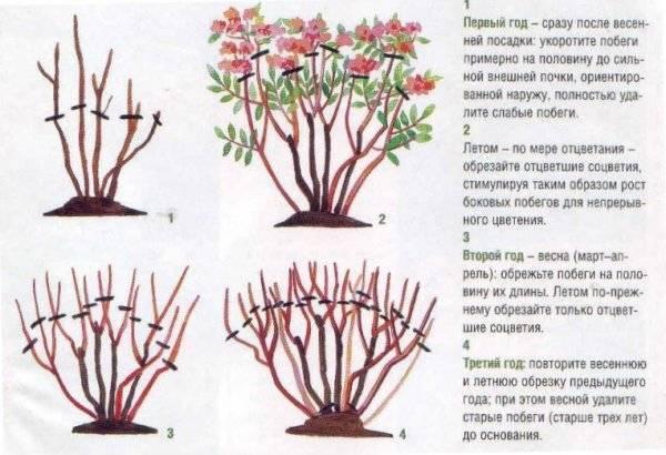Как правильно обрезать гортензии после цветения – пошаговая инструкция