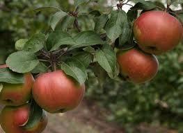 Все самое важное о сорте яблок «бельфлер-китайка»