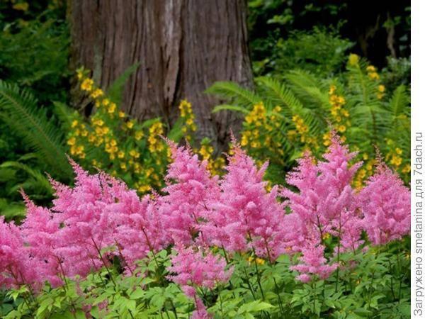 О цветке астильба: описание, выращивание из семян в грунте и в домашних условиях