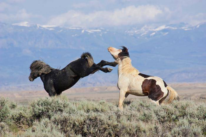 Лошади мустанги