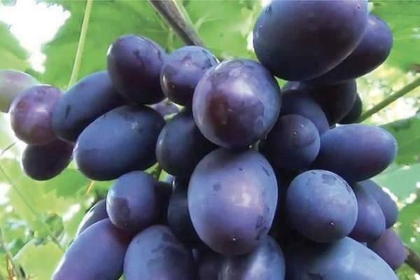 Виноград викинг: характеристика и описание сорта, посадка и уход