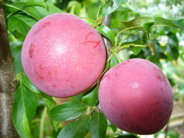 Разновидности сливы, пригодные для выращивания в подмосковье