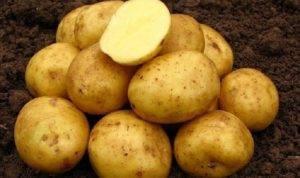 """Картофель сорта """"вектор"""""""