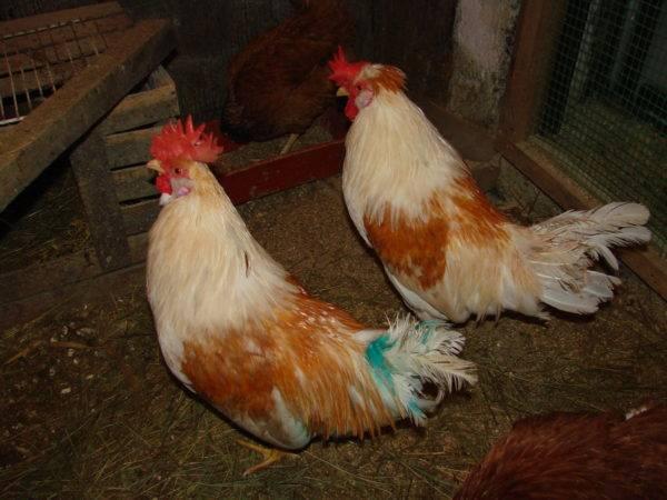 Почему цыплята и куры клюют друг друга