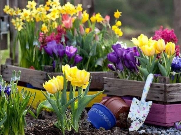 Тюльпаны – когда сажать, и когда выкапывать? уход и посадка