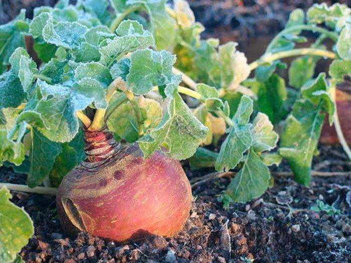 Брюква выращивание и уход