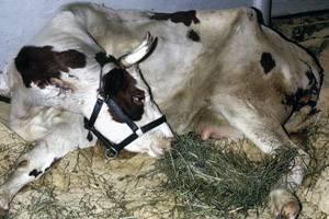 Лечение послеродового пареза у коров