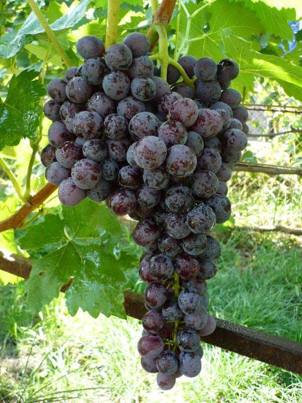 Обрезка винограда кишмиш 342