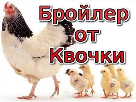 Курица наседка — сколько дней высиживает яйца в домашних условиях