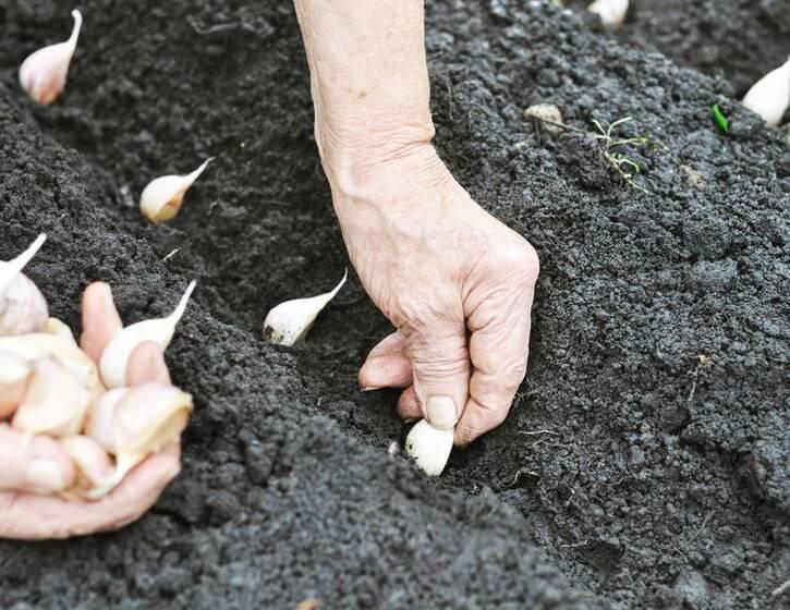 Посадка ярового чеснока весной на урале и в сибири