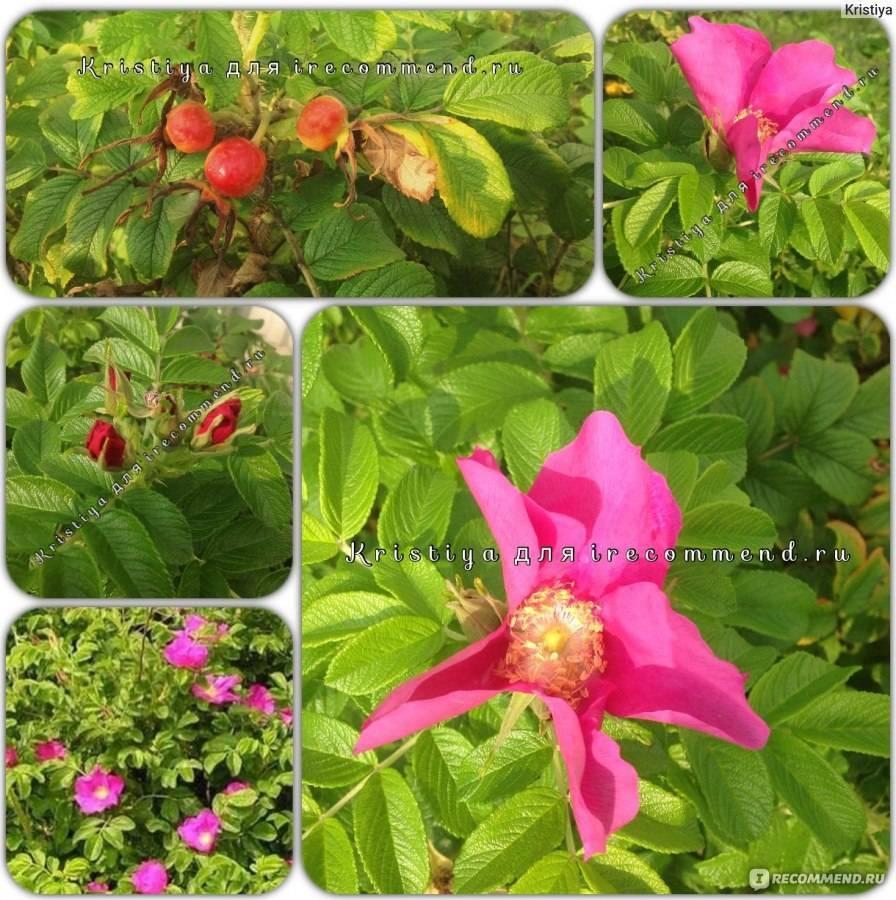 Канадские розы: описание лучших сортов с фото и правила ухода