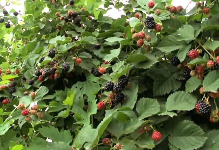 Ежевика трипл краун: основные характеристики, выращивание в подмосковье