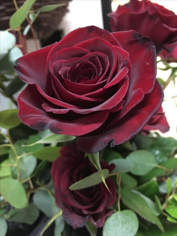 Черная магия роза: описание сорта и 4 этапа правильного ухода