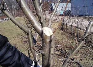Сроки обрезки плодовых деревьев