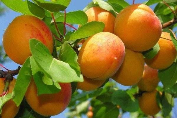 Триумф северный: всё о выращивании популярного сорта абрикоса