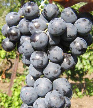 Виноград страшенский — надёжный высокоурожайный сорт