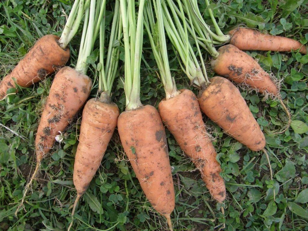 Как правильно сеять морковь весной в открытый грунт