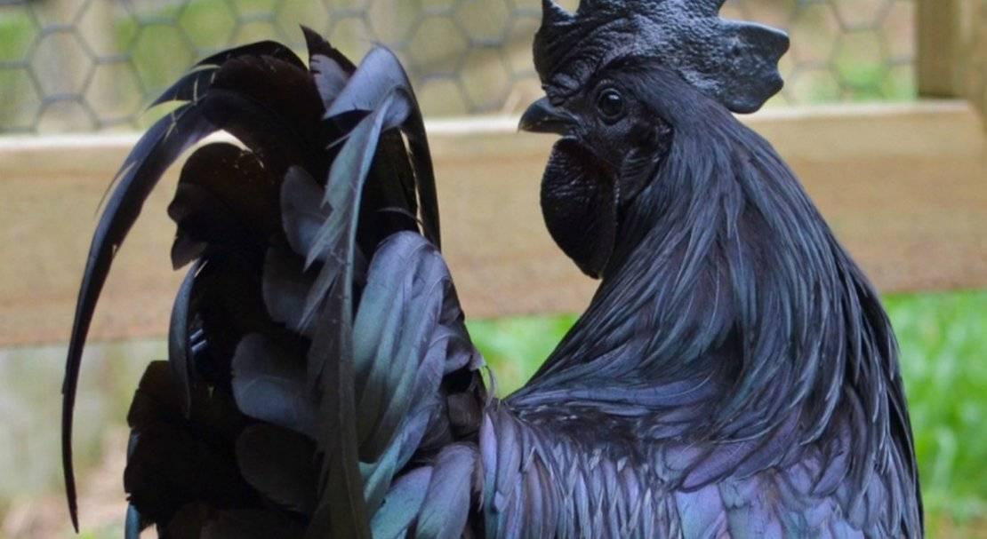 Декоративные куры: разновидности пород и их краткое описание