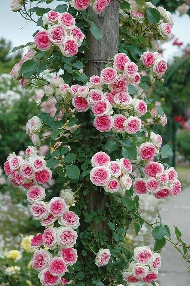 Роза мэри роуз (mary rose) — описание сорта и его особенности