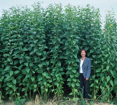 Топинамбур — земляная груша на садовом участке