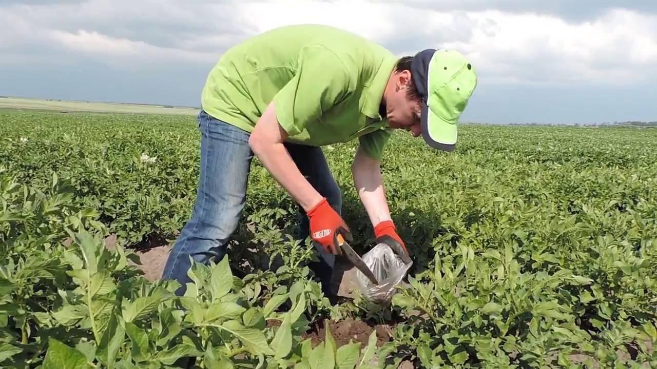 Новые технологии выращивания картофеля, а также посадка картофеля под солому - овощи - 2020