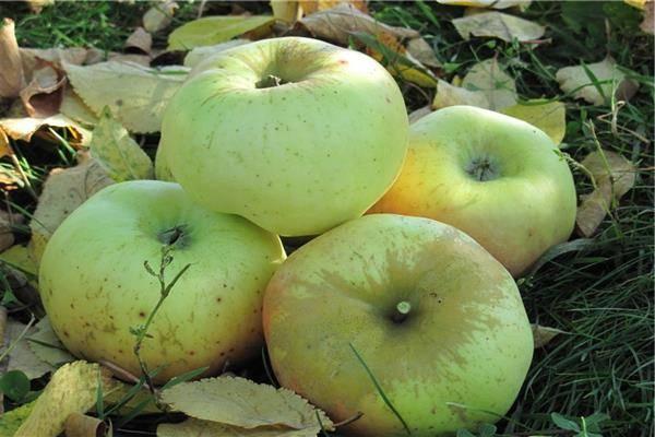 Сорта яблони с. ф. черненко | плодовый сад