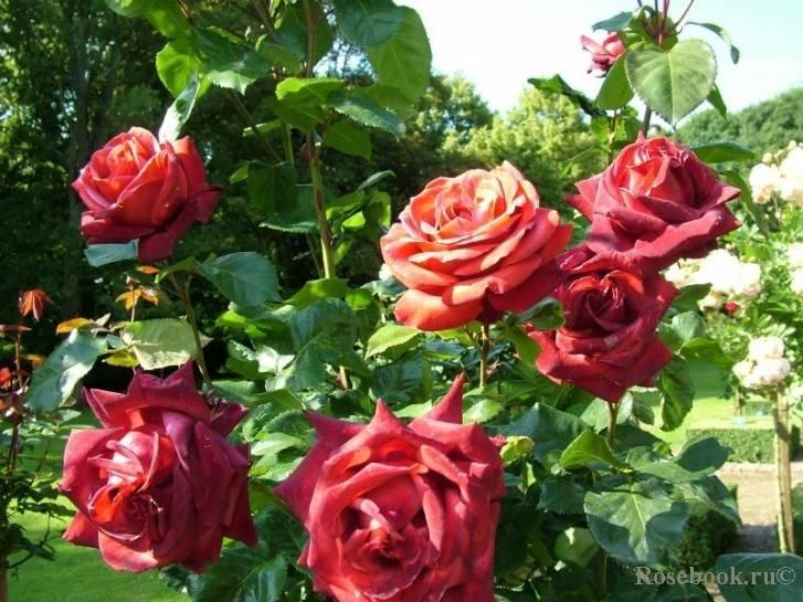 О розе терракота (terracotta): описание и характеристики розы терракотовой