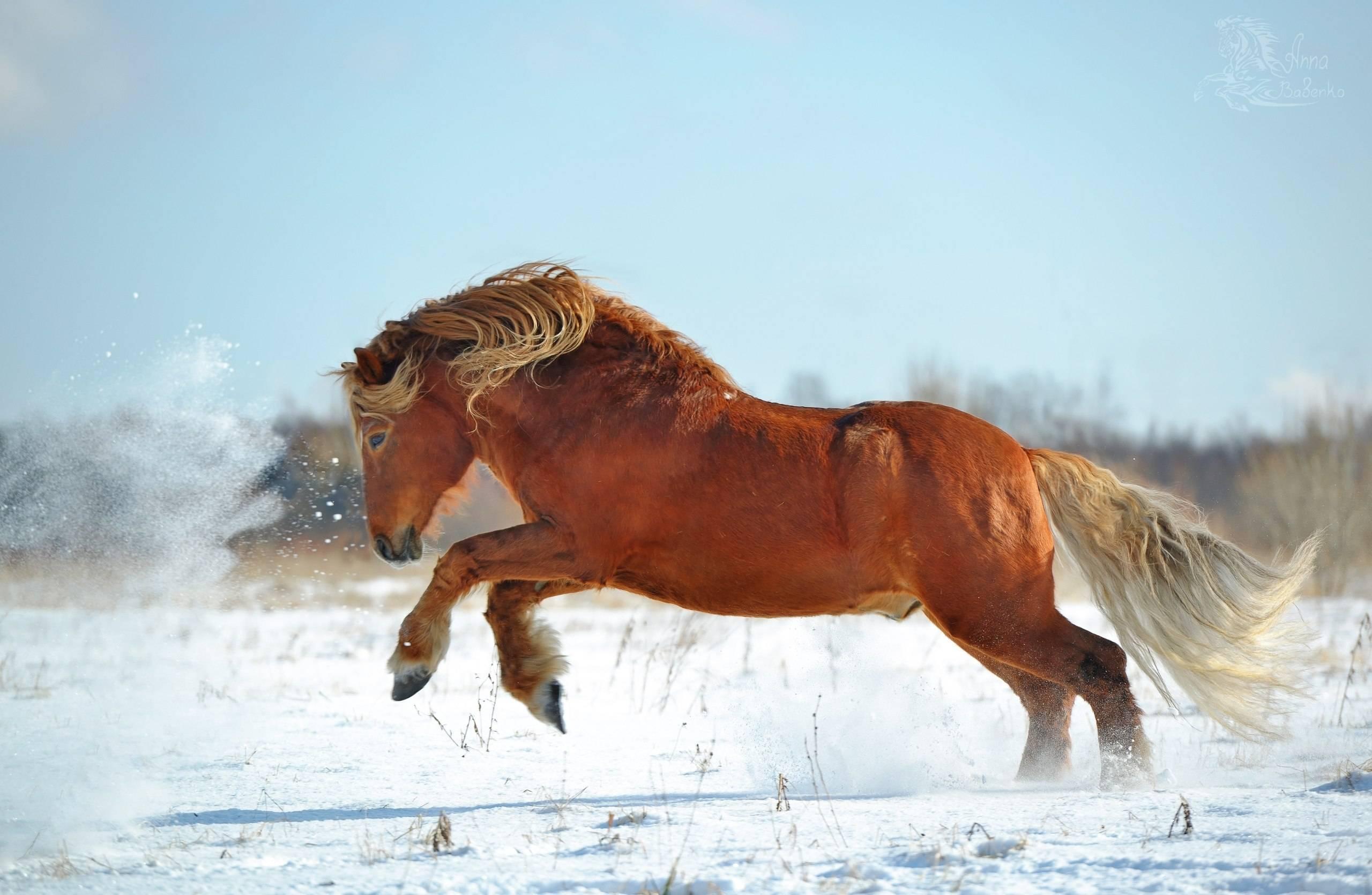 Породы лошадей тяжеловозов и их характеристики