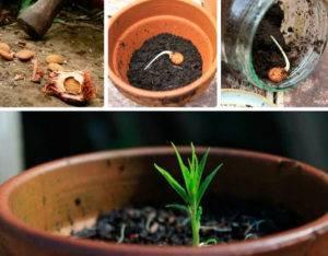 Выращивание сливы из косточки